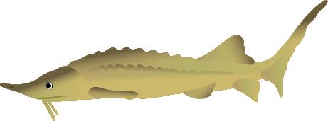 Siberische steur